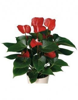 Антуриум (Anthurium Red small)